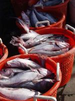 Sell FROZEN HEAD HADDOCK (Melanogrammus aeglefinus)SEA FOOD FISH