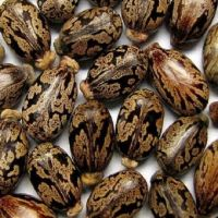 Top Quality Castor Seed