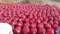 Good Quality fresh shiny red/yellow/white onion in bulk Sale