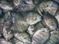 Pearl Spot Fish Aquatic Products Ocean Foods Seabass