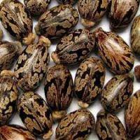 Castor oil seeds / beans for sale high quality