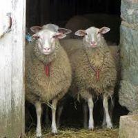 Full Blood Boer Goats, Live Sheep, Cattle, Lambs