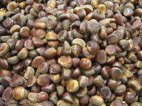 Wholesale Chestnut Raw Sweet Fresh Chestnut