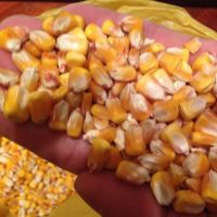 Yellow Corn/Maize For Animal Feed