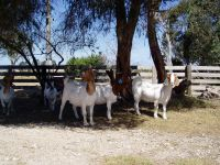 South African Boer Goat and sheep suppliers