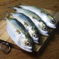 Frozen Atlantic mackerel