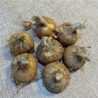 Saffron seeds / extract