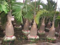Sell Hyophorbe lagenicaulis(Bottle palm-Palm tree-Landscaping palm)