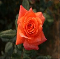 supply bare root rose plant from China-Plants