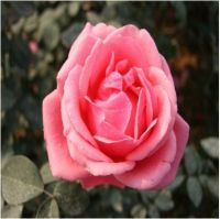 wholesale pink chinese rose plant