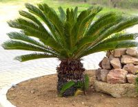 Sell palm trees with competitive price out door plants