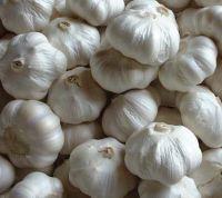 Sell  chinese Garlic