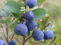 Sell Bilberry Extract Powder