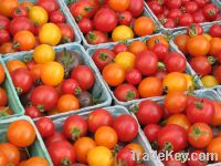 Fresh Grade A Tomatoes for sale