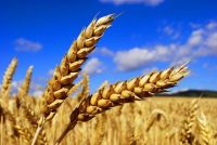 Wheat various grades