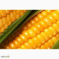 Feed Yellow Corn Ukraine Origin