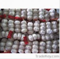 Sell Chinese Garlic Supplier (150gr x 75bags per carton)