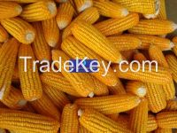 NEW CROPS 2015 - YELLOW CORN / MAIZE