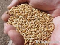 Sell Argentinean Durum Wheat