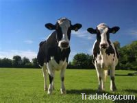 Sell Yoghourt Flavour For Dairy Products