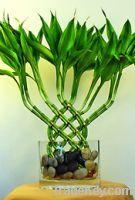 Sell Interior bamboo plants