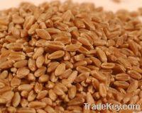 Maize | Maize Exporter | Corn Grain Seller | Maize Buyer | Bulk Maize Grain Importer | Corn bean Buyer | Corn bean Wholesaler | Corn Grain Manufacturer | Best Quality Corn Grain | Cheap Maize Supplier | Low Price Corn | Yellow Corn | White Cron | Baby Ma