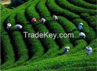 Premium Quality Green Black Tea Selenium-rich tea