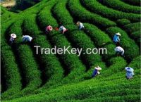 Sell ZiYang Selenium-rich tea best tea