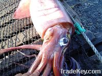 Sell giant squid