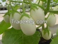 fresh eggs plant fr sale