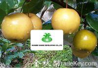 Sell Golden-autumn pear
