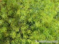 Sell Dill Anethum garveolens  plants leaves, seeds and sterms