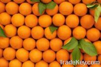 Fresh Citrus Fruits Navel Oranges from South Africa for sales