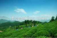 100% pure organic bio green tea extract.natural green tea extract powder