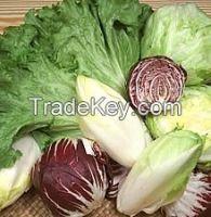 Lettuce, Chicory