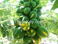 Fresh Fruit Papaya