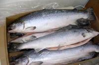 Frozen Whole Salmon Fish