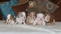 Bulldog Puppies Ready for new homes