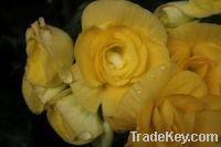 Sell  Flower Bulbs, Seeds & Seedlings