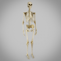 Full Human skeleton for sale, skeleton, human skeleton