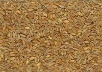 durum wheat,