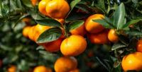 Sweet Juicy Seedless Mandarin