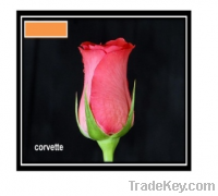 Sell corvette rose