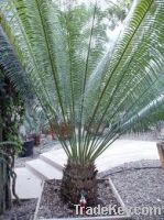 cycas pectinata palm tree