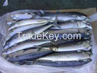 High Quality Frozen Pacific Sardine Fish