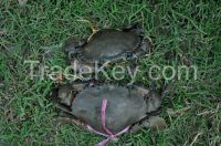 Looking for Buyer of Live Mud Crab