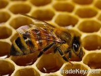 Sell honey bee