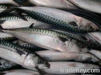 Sell fresh makerel fish