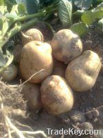 Fresh Potato 2014