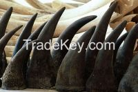 Rhino Horn for sale.